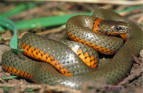 老是梦见蛇是怎么回事