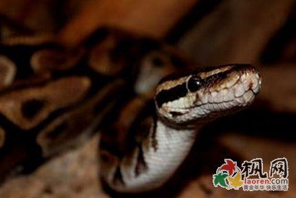 孕妇梦见掐死一条蛇