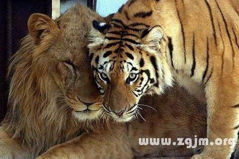梦见狮子老虎是什么预兆