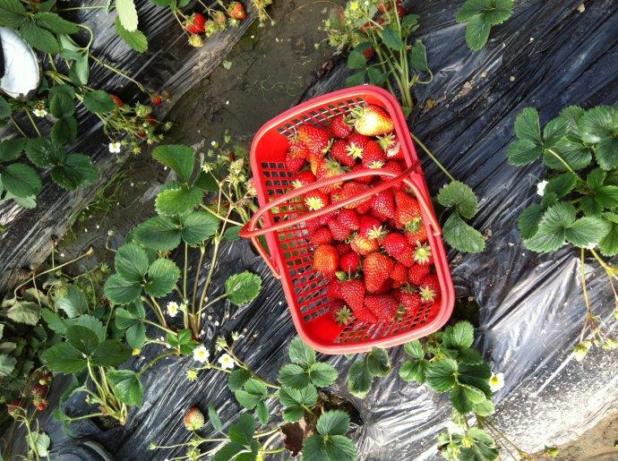 摘草莓是什么意思_摘草莓作文_摘草莓图片