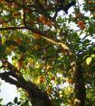 盆栽桔子树怎么养?盆栽桔子树的养殖方法