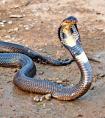 中国十大毒蛇 谁最毒?