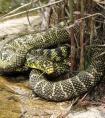 野生菜花蛇图片 中国54种毒蛇图片名字